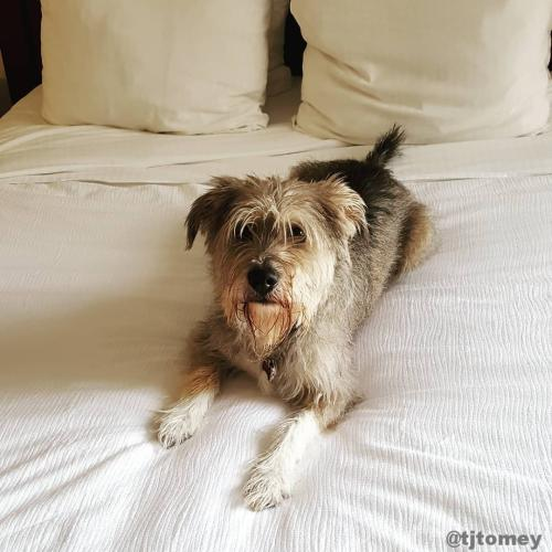 Dog at Staybridge Suites