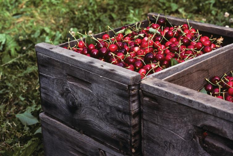 Fresh Okanagan cherries - Kelowna, BC