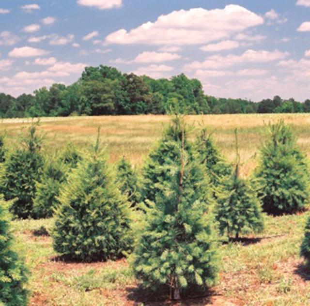 Northlake Christmas Trees & Nursery