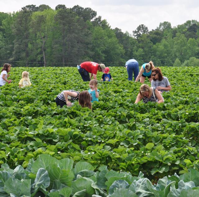 Smith's Farm Strawberry Picking