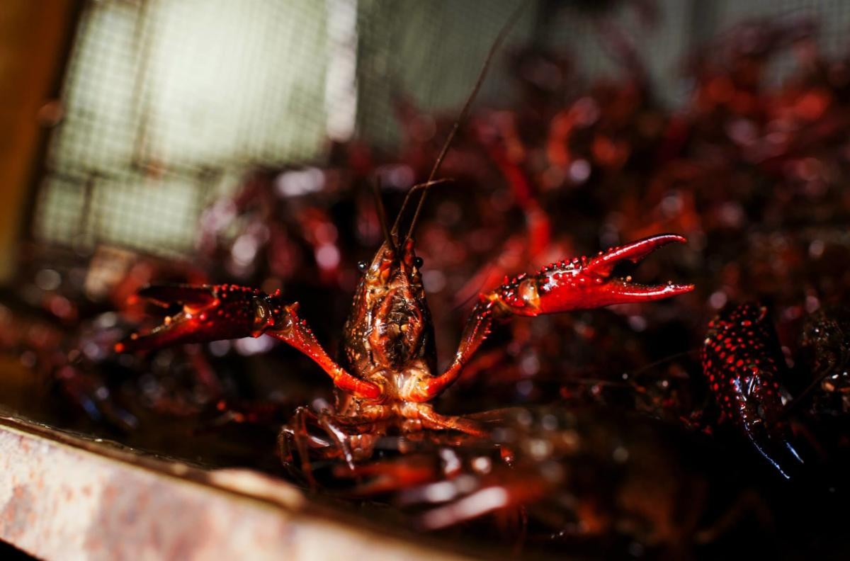 Purged Crawfish