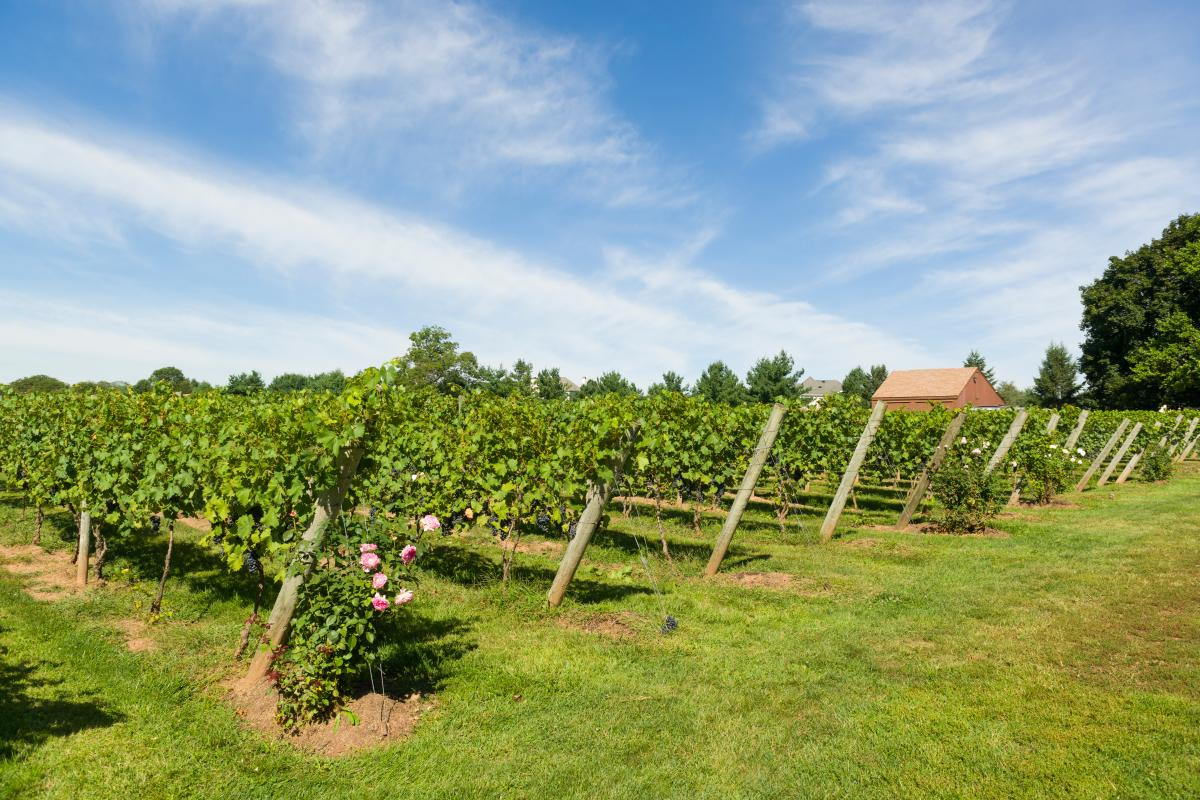 Vines at Crossing Vineyards