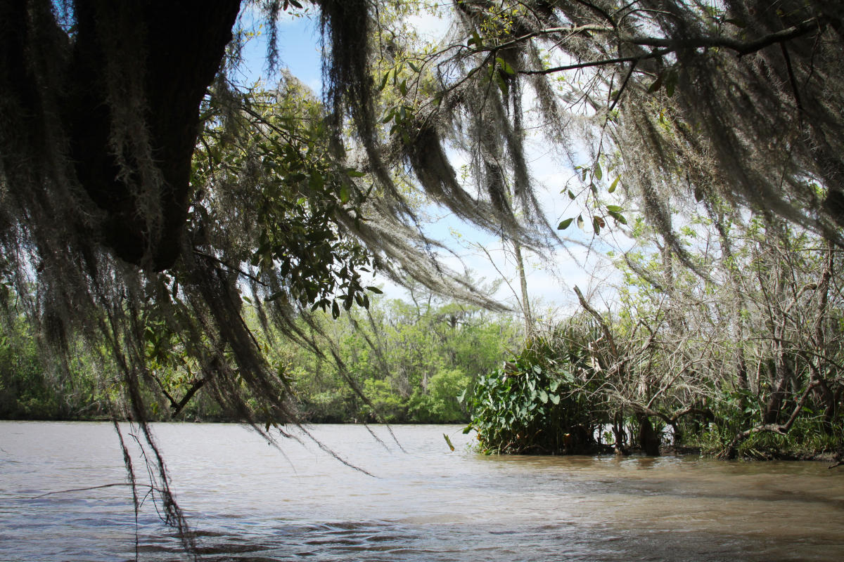 Bayou Vermilion Excursion: Moss in the Wind