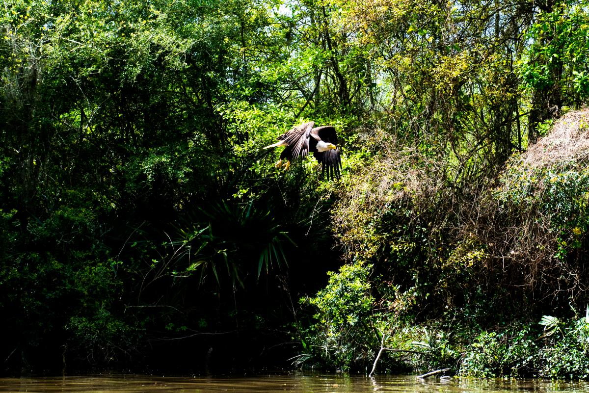 Bayou Vermilion Excursion: Eagle in Flight