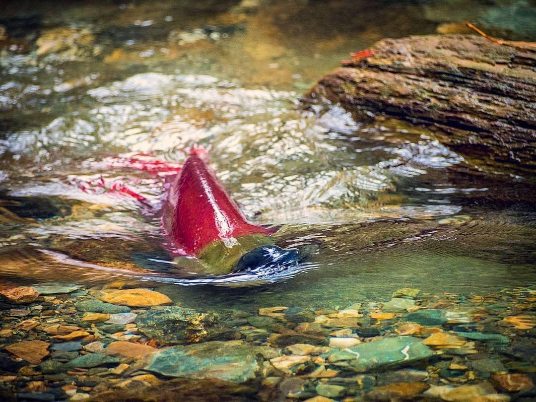 Salmon Run 2