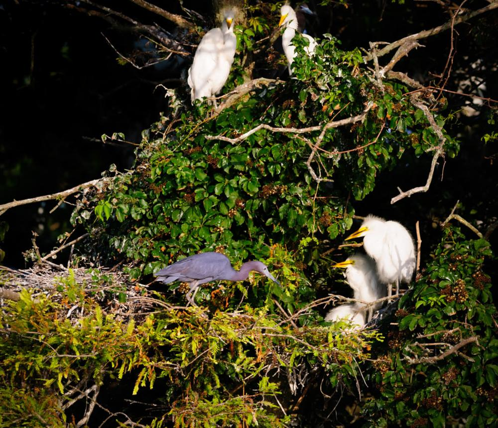 Little Blue Heron and Friends