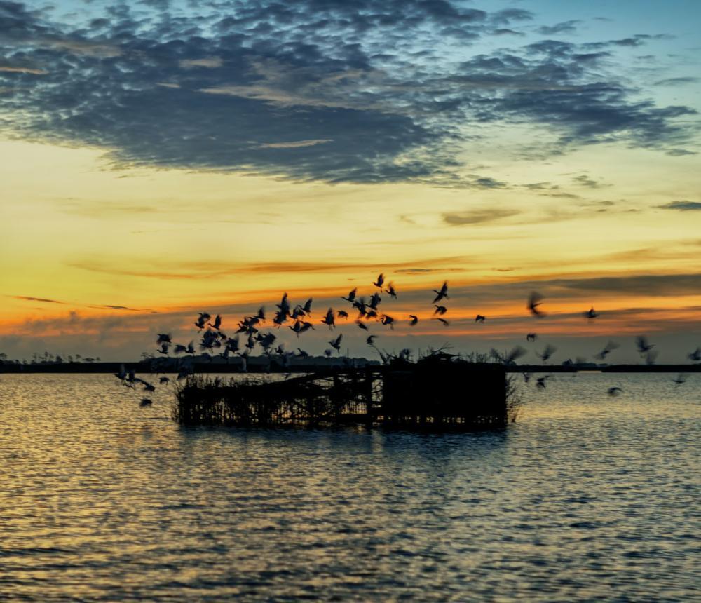 Cattle Egrets  - Back Bay