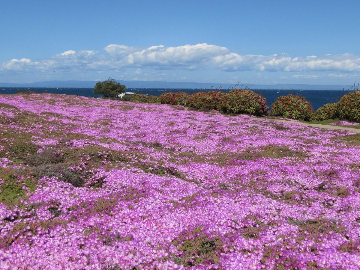 Pacific Grove Purple Carpet