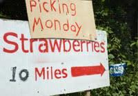 Strawberries from a U-Pick Farm