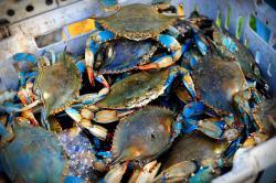 Delicious Blue Crab