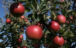 Eplegaarden - Apples