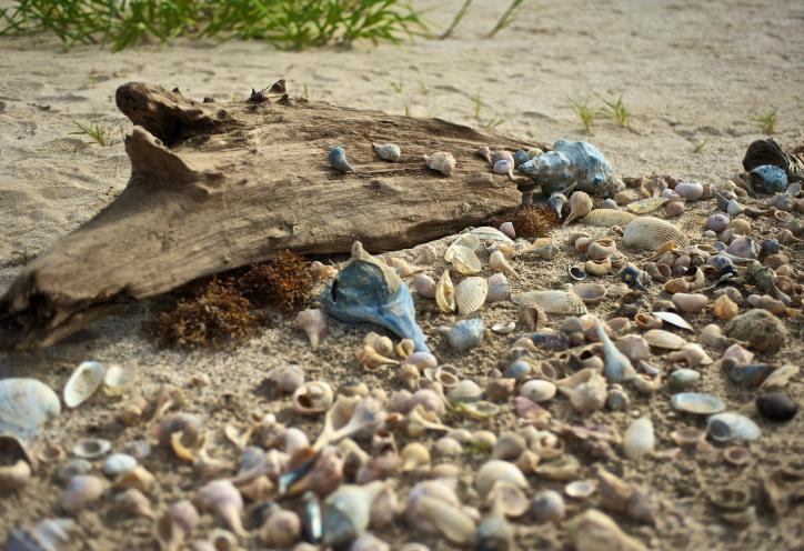 Shelling along Gulf of Mexico Beaches