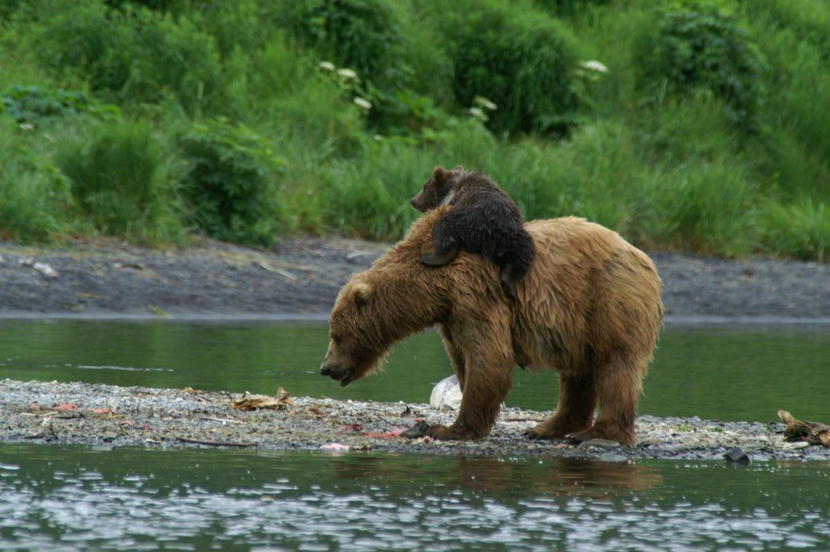 Kodiak Brown Bear Center