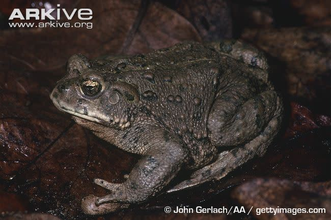Boreal toad research an effort in endangered species conservation sciox Image collections