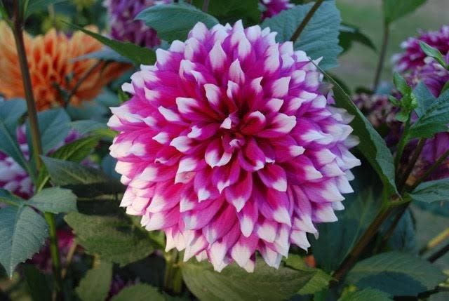 All About Dahlias