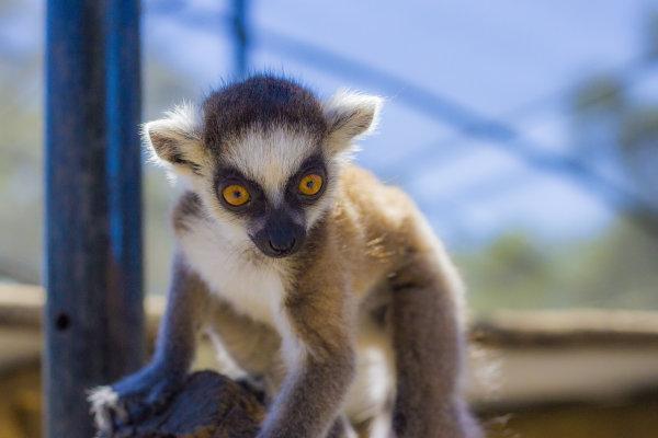 Baby Lemur at Giraffe Ranch