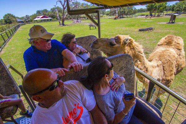 Camel at Giraffe Ranch