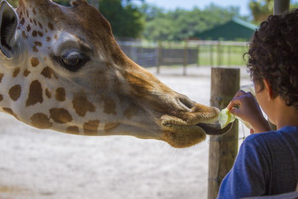 Giraffe Feeding at Giraffe Ranch