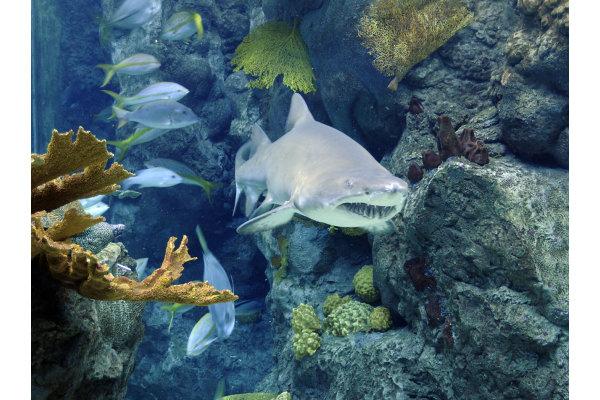 The Florida Aquarium Sand Tiger Shark