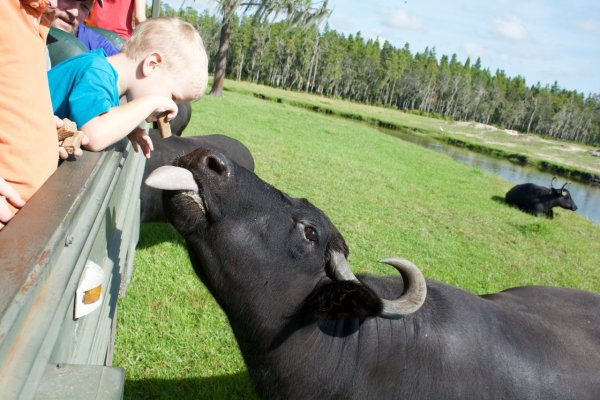 Water Buffalo Feeding