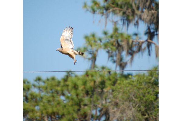 Red Shoulder Hawk in flight