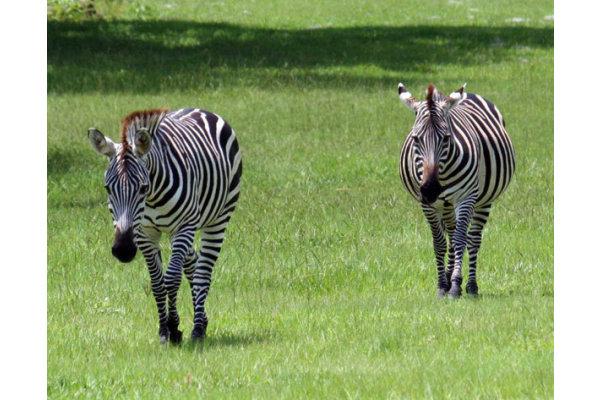 Zebras at the Giraffe Ranch
