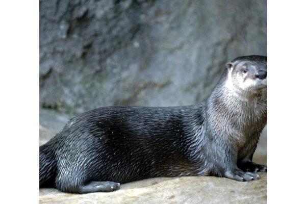 River Otters at The Florida Aquarium