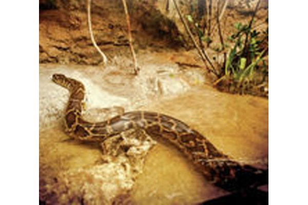 Meet our Burmese Pythons on the Wetlands Trail