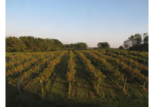 Vines