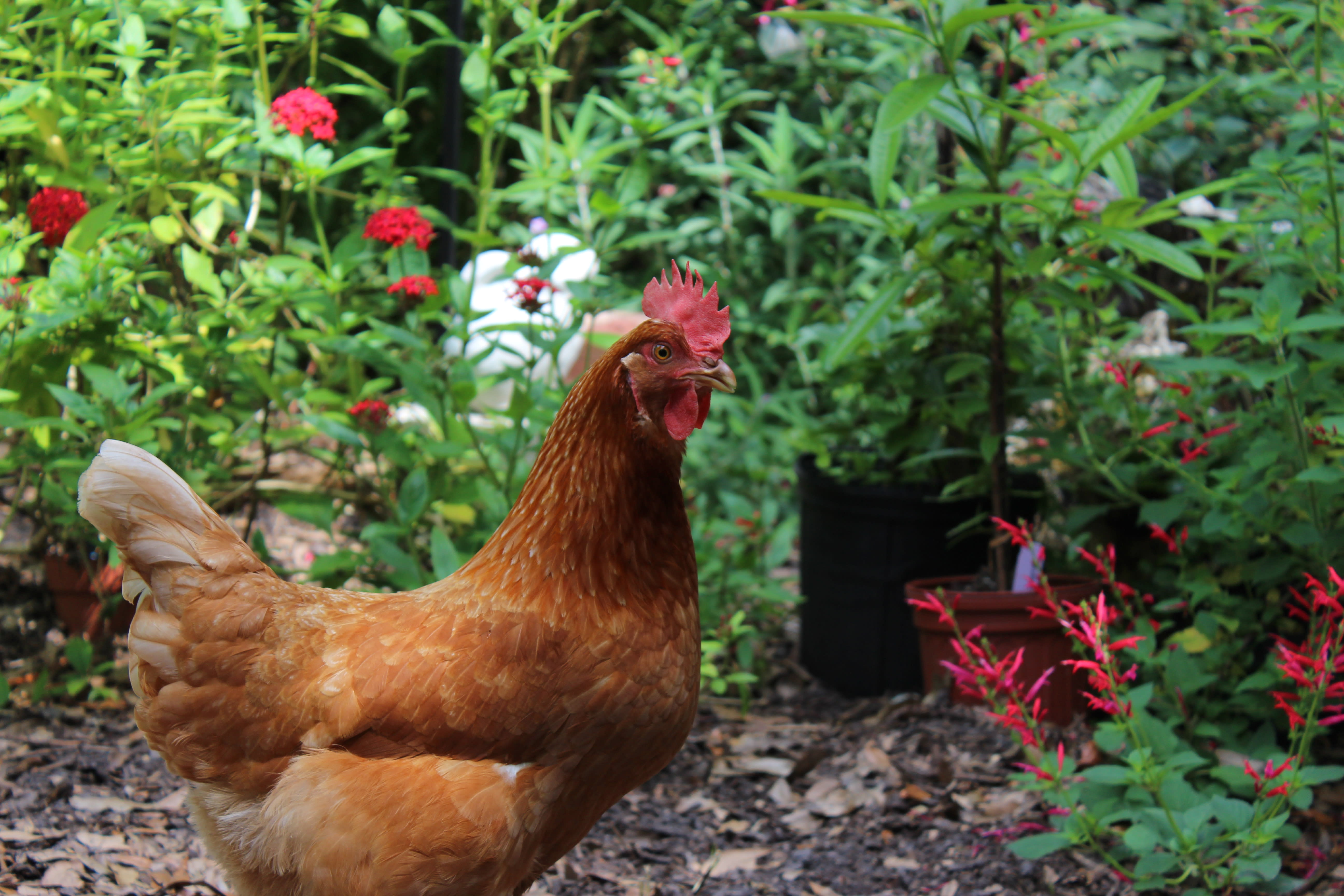 Urban Hens - Keeping Chickens in Florida