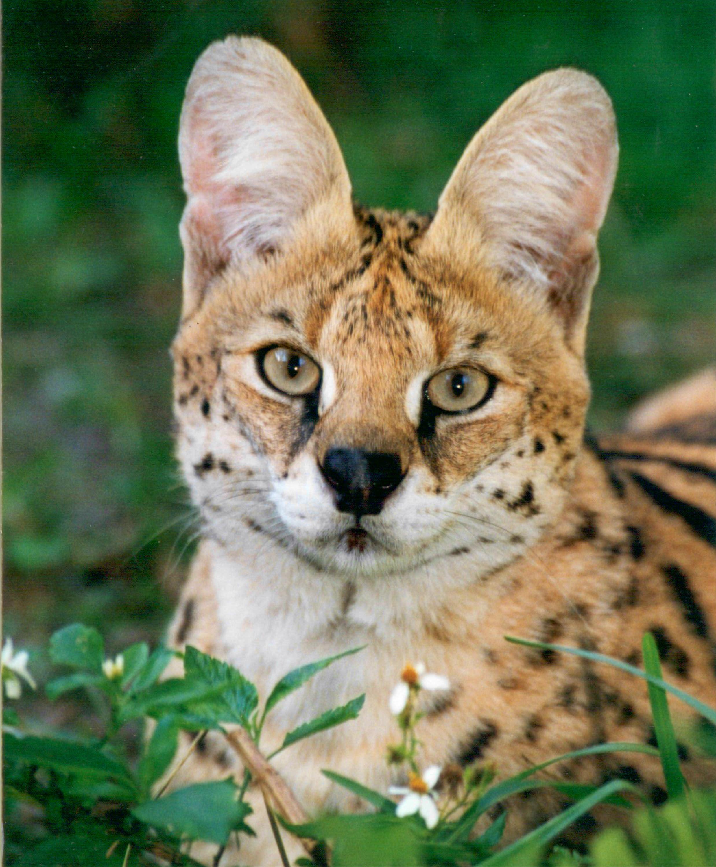 Wildcat Walkabout at Big Cat Rescue