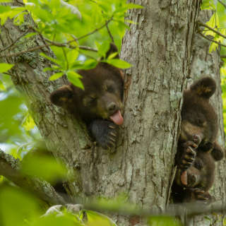 Bear Cubs in Tree