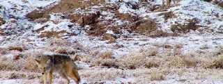 Bosque Coyotes