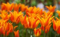 Tulip Fest - Albany 719