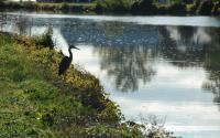 Blue Heron along Erie Canal