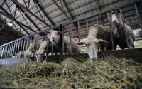 Old Chatham Sheep Herding Company 1196