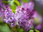 #VisitROC's Guide To The 2018 Lilac Festival