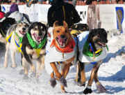 Iditarod Sled Dog Team Fourth Avenue Anchorage Alaska