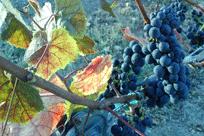 Noble Estate Veraison Grapes
