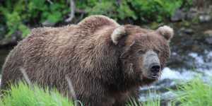 Brown Bear viewing tours near Anchorage
