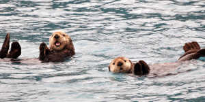 Sea otters swim in Kenai Fjord National Park on a day cruise