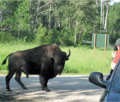 Bison watching, Riding Mountain National Park