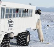 Polar bear standing up to greet a guest on the Tundra Buggy