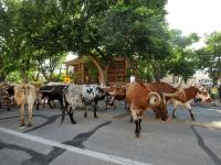 Coors Cowboy Club Cattle Drive