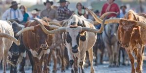 FW-Herd-Steers-420x260