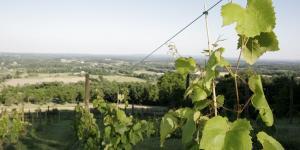 jg_bluemont_vineyards_vine.jpg