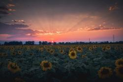 Sunflower Sunset ajipsen