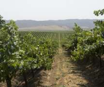 Vineyards in Salinas Valley