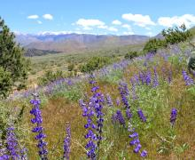 Golden Gate Mine Road Wildflowers