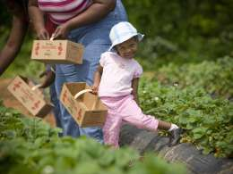 Strawberry picking at Patterson Farms